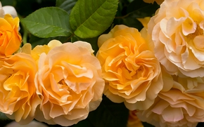 жёлтые розы, розы, лепестки