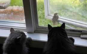 cats, cat, sparrow, bird, observation, window