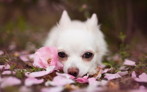 собака, щенок, взгляд, лепестки