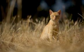 COTE, gatto, Redhead, visualizzare