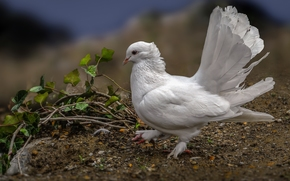 white dove, pigeon, bird, TAIL, plumage