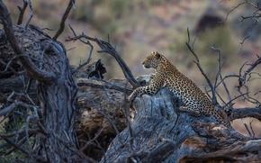 predator, recreation, wildcat, driftwood, leopard