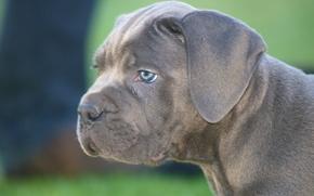 puppy, Snout, dog, Cane Corso