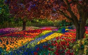 TULIPS, trees, Flowers, park