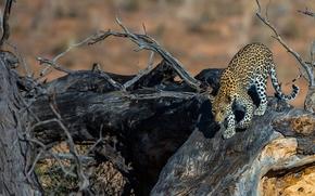 predator, driftwood, wildcat, leopard
