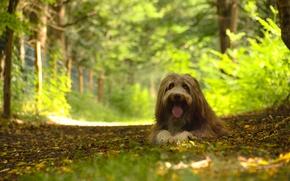 collie barbado, cão, cão, floresta