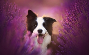 Бордер-колли, собака, язык, радость, настроение, лаванда, цветы