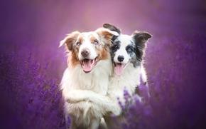 Бордер-колли, собаки, друзья, дружба, лаванда, цветы