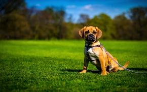 Пагль, собака, лужайка, цепь