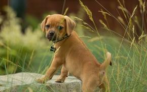 Paglia, dog, puppy, view, grass