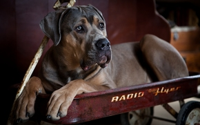 Cane Corso, dog, dog, trolley