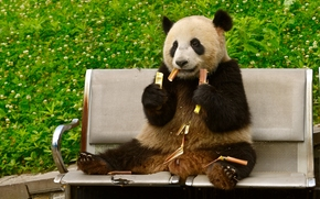 panda, bambú, banco