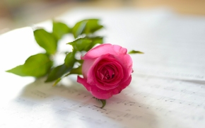 rose, music, bokeh