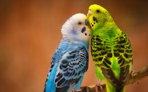 парочка, любовь, птицы, Волнистые попугайчики