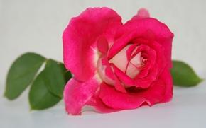 роза, лепестки, макро