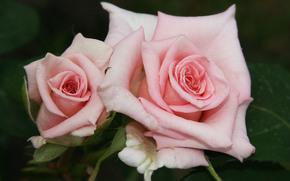 розы, бутоны, лепестки, макро