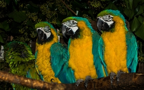 Blue-and-yellow macaw, macaw, Parrots, birds, trio, branch