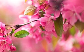 сакура, вишня, цветение, цветки, ветка, пчела, макро