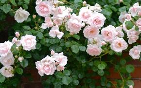 розовый куст, куст, розы