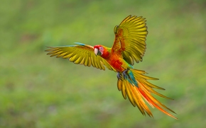 macaw, parrot, flight, wings, TAIL, plumage