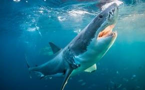 squalo bianco, squalo, pesce, mare