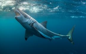 Белая акула, акула, море