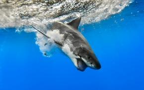 white shark, shark, sea, water