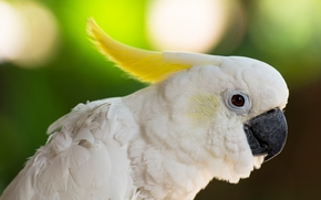 Large-crested cockatoo, Cockatoo, parrot, bird, topknot