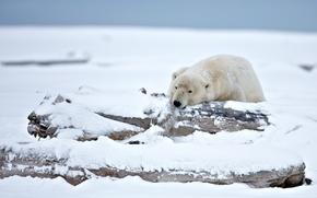 polar bear, polar bear, bear, Alaska, snow, winter