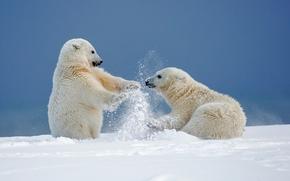 Orsi polari, Orsi, Orsi, Alaska, nevicata, inverno, gioco, divertimento