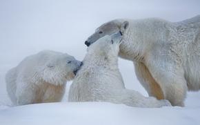 Orsi polari, Orsi polari, Orsi, Alaska, nevicata, inverno