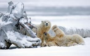 Orsi polari, Orsi, Orsi, Alaska, nevicata, inverno, intoppo