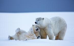 Orsi polari, Orsi, orsa, Orsi, Giovane, Alaska, nevicata, inverno