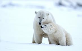белые медведи, медведи, медведица, медвежонок, детёныш, Аляска, снег, зима