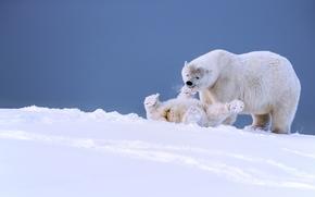 белые медведи, медведи, медведица, медвежонок, детёныш, игра, забава, Аляска, снег, зима