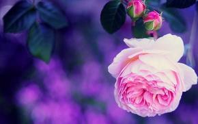 роза, бутоны, макро