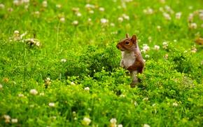 wiewiórka, na patrolu, łąka, Kwiaty