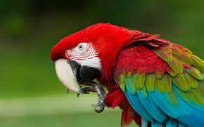 Red-and-green macaw, macaw, parrot, bird, plumage, beak