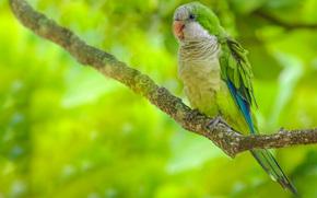 Калита, попугай, птица, ветка