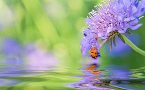 цветок, божья коровка, жук, вода, отражение, макро