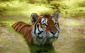 tiger, swimmer, water
