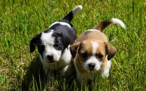 собаки, щенки, малыши, мордашки, взгляд, трава