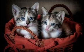 котята, малыши, двойняшки, корзина