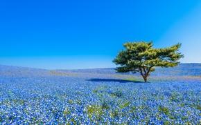 Hitachi Seaside Park, Hitachinaka, Japan, Национальный приморский парк Хитачи, Хитатинака, Япония, луг, цветы, немофила, дерево