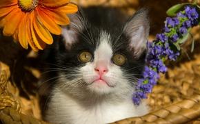 gattino, bambino, mordashka, visualizzare, Fiori, cestino