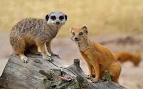 mongoose, meerkat, Friends, log