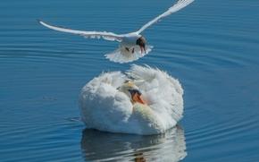лебедь, чайка, птицы, вода