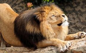 лев, царь зверей, грива, потягушки