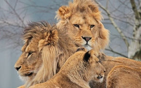 Lions, lioness, Trinity, Swedish semeika