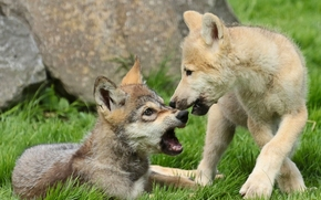 Wolves, cubs, Puppies